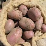 Garden seed potato
